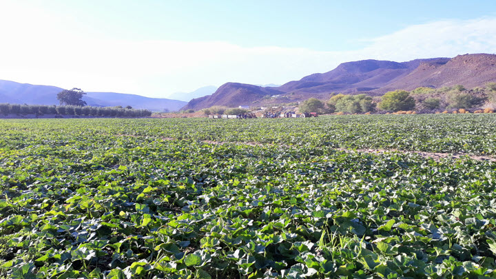 vegetable-export-butternut-oude-muur-packing-south-africa-2020-13